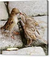 Sparrow Feeding Fledgelings Canvas Print