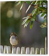 Sparrow In Colonial Williamsburg Canvas Print