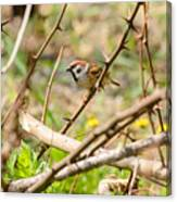 Sparrow In The Thorns Canvas Print