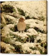 Sparrow In Winter II - Textured Canvas Print