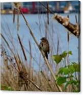 Sparrow On The Cattails Canvas Print