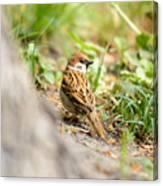 Sparrow On The Ground Canvas Print