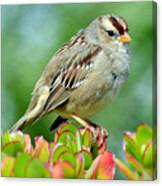 Sparrow Song 9 Canvas Print