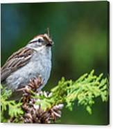 Sparrow With Lunch Canvas Print