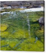 Spawning Salmon Canvas Print