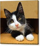 Special Delivery Tuxedo Kitten Canvas Print