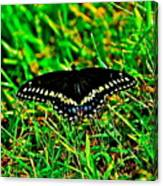 Spicebush Swallow Tail Canvas Print