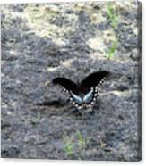 Spicebush Swallowtail 2 Canvas Print