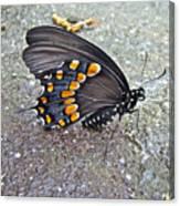 Spicebush Swallowtail Butterfly Female - Papilio Troilus Troilus Canvas Print
