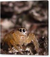 Spider Eyes Canvas Print