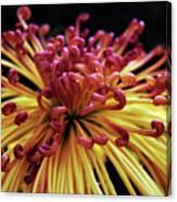 Spider Chrysanthemum Canvas Print
