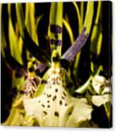 Spider Orchid Canvas Print