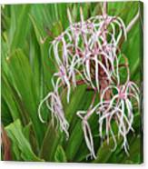 Spider,lily Canvas Print