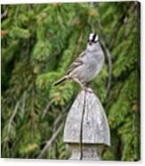 Spiffy Sparrow Canvas Print