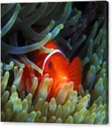 Spinecheek Anemonefish, Great Barrier Reef Canvas Print