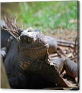 Spines Along The Back Of An Iguana In The Tropics Canvas Print