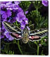 Spinx Moth Canvas Print