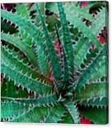 Spiral Cactus Canvas Print