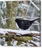 Splash. Eurasian Blackbird Canvas Print