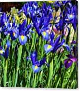 Vivid Blue Iris Flowers Canvas Print