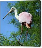 Spoonbill In A Tree Canvas Print