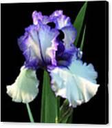 Spotlight On 'freedom Song' Bearded Iris Canvas Print