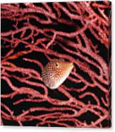 Spotted Boxfish Hides In Red Sea Fan Canvas Print