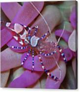 Spotted Cleaner Shrimp On Anemone Canvas Print