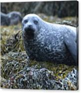 Spotted Coat Of A Harbor Seal Canvas Print