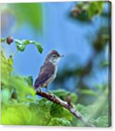 Spotted Flycatcher Muscicapa Striata .  Canvas Print
