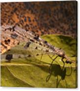 Spotted Mayfly Canvas Print