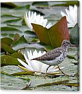 Spotted Sandpiper And Lilies Canvas Print