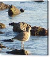 Spotted Sandpiper Keeping Sentry On The Bay Canvas Print