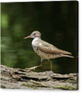Spotted Sandpiper Canvas Print