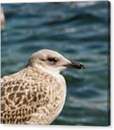 Spotted Seagull Canvas Print