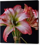 Spring Amaryllis Canvas Print