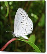 Spring Azure Butterfly Canvas Print