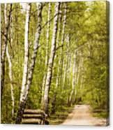 Spring Birches Woods Footpath Canvas Print