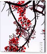 Spring Blossom In Maldives. Flamboyant Tree Canvas Print