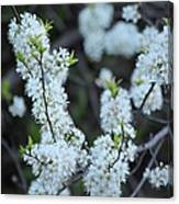 Spring Blossoms 2 Canvas Print