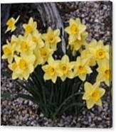 Spring Cheerleaders - Daffodils Canvas Print