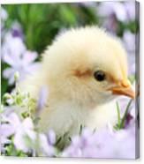 Spring Chick Canvas Print