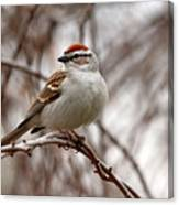 Spring Chipping Sparrow Canvas Print