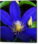 Spring Clematis Canvas Print