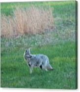 Spring Coyote  Canvas Print