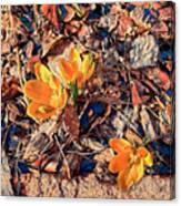 Spring Crocus Flower Canvas Print