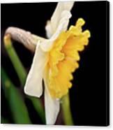 Spring Daffodil Flower Canvas Print