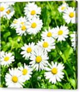Spring Daisy In The Meadow Canvas Print