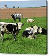 Spring Day With Cows On An Amish Cattle Farm Canvas Print