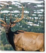Spring Elk Canvas Print